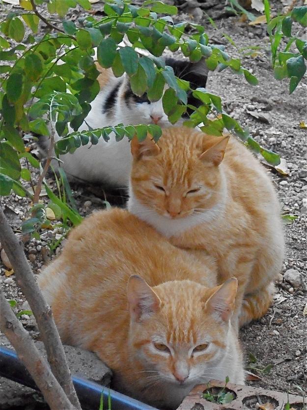 Toledo Cats