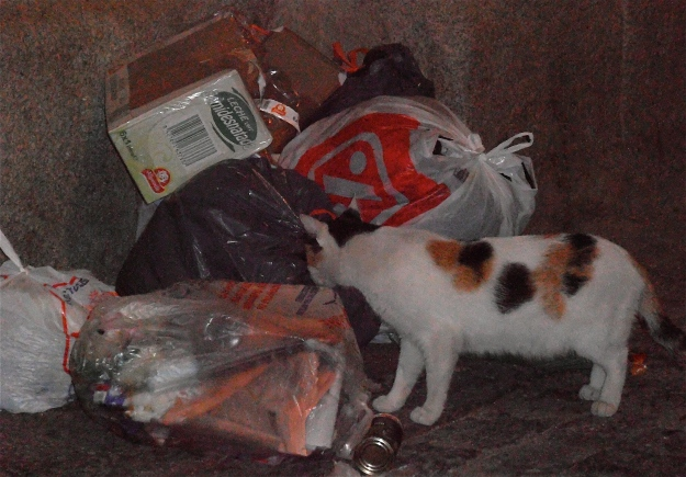 This tortoiseshell (calico) cat is the alpha female of the trash collection point outside my front door.