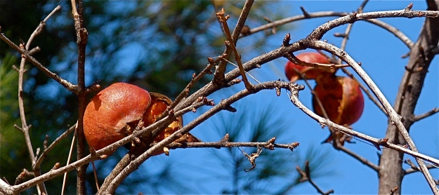 The pomegranates, split open, provide ready sustenance for Toledo's birds