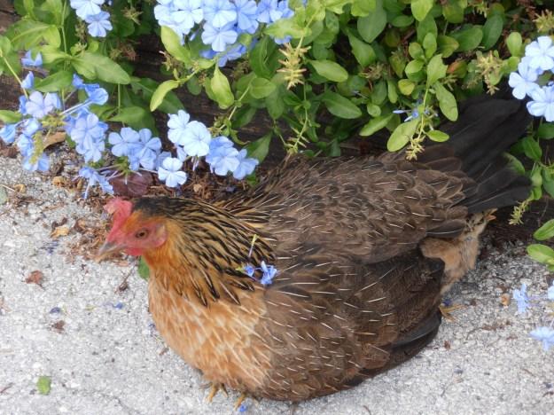 Key West Broody Hen