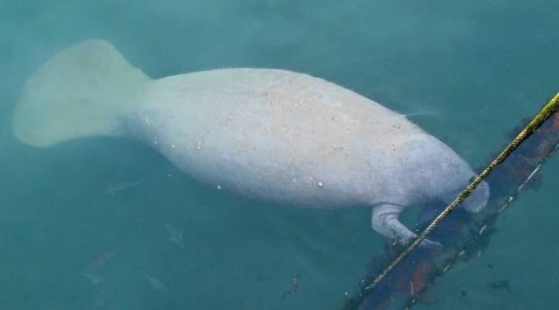 A manatee feeding off the weed growing on the ropes holding my friends' houseboat in place. It's a big male, over 7ft in length. We  could tell it was a boy by the giant...erm... appendage trailing underneath, which, unfortunately, didn't come out in the pic
