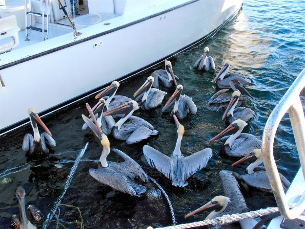 Pelicans being tossed chunks of fish