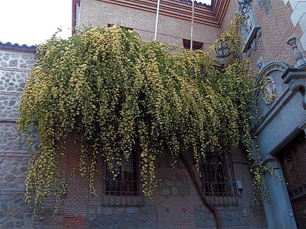 Toledo Flowering Tree