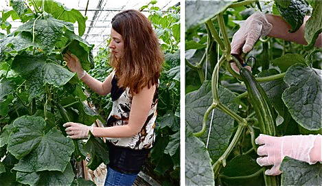 "The article that went with these pics ran under the headline ""Cucumbers And Tomatoes Have the Same Needs"". Just glad out lass is playing it safe while seeing to them. (P.S. I omitted the third photo. It would have been too much for some of you.)"