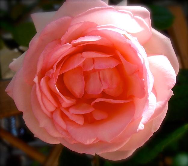 Rosy rose