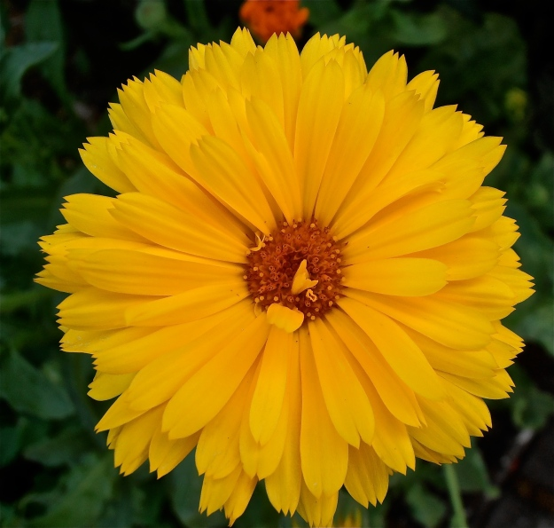 Marigold 4