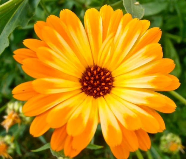 Marigold 7