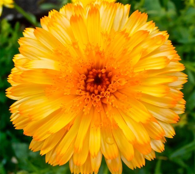Marigold 11