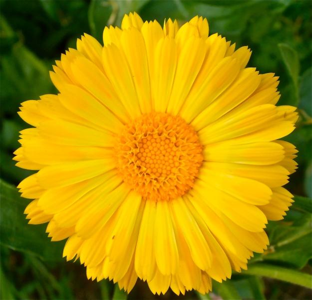 Marigold 10