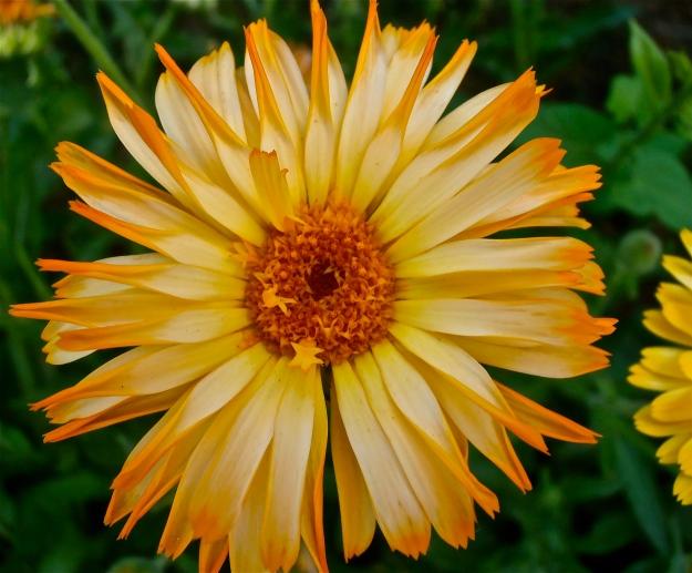 Marigold 5