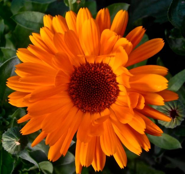 Marigold 12