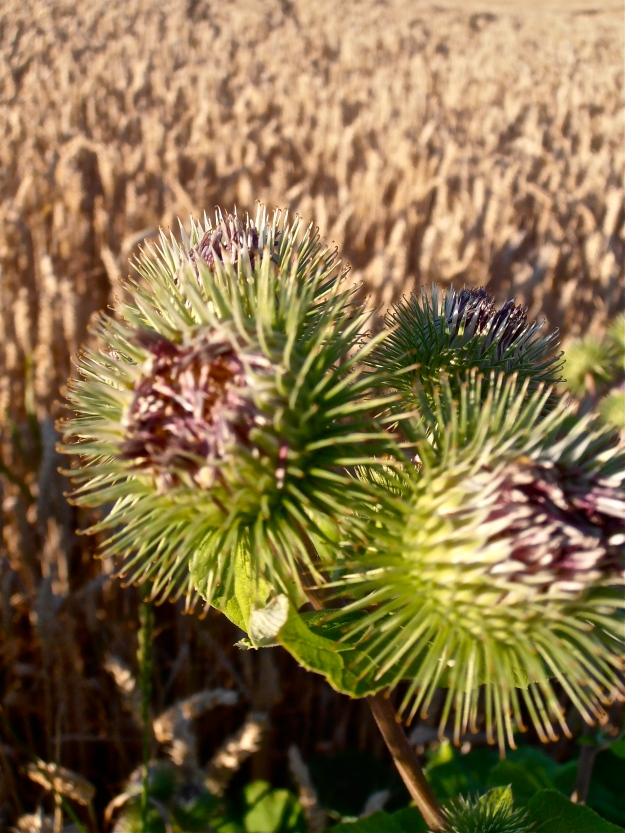 Thistles, wheat field in the background