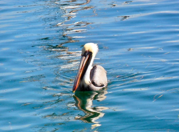 Pelican in Key West Harbour