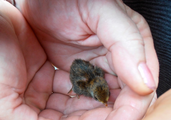 ...and this tiny, newly-hatched baby quail