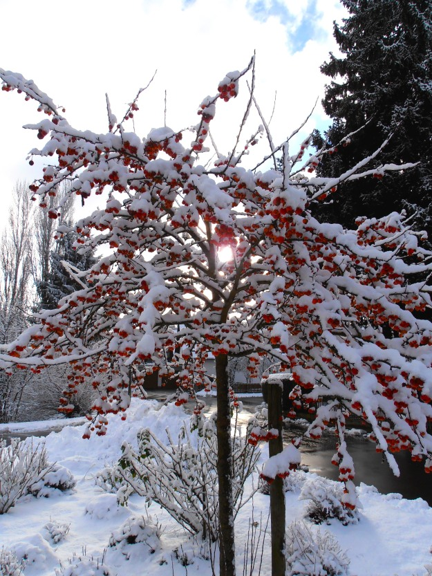 Apple tree in the snow