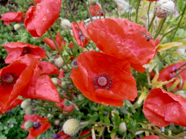 And some nice poppies to finish off :)